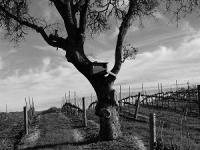 The Winter Vineyard – Jordan Winery